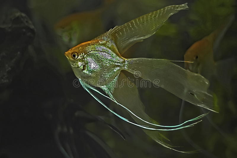 Gold Veil Angel Fish royalty free stock photography