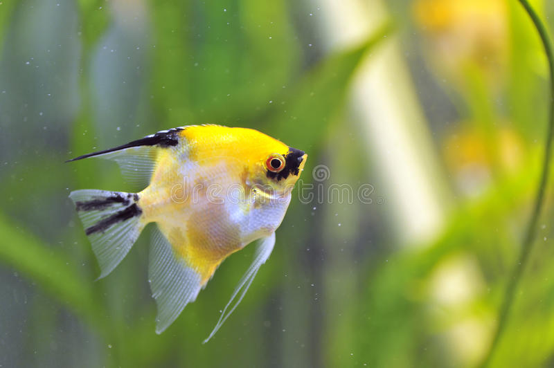 Gold Veil Angelfish royalty free stock images
