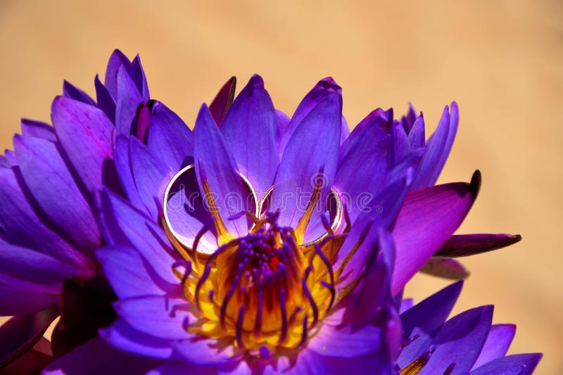 Gold wedding rings on Beautiful purple lotus flowers on the foto of sand. Close-up. A symbol of Buddha, a wedding stock images