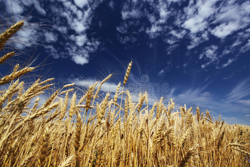 Gold Wheat Royalty Free Stock Photography