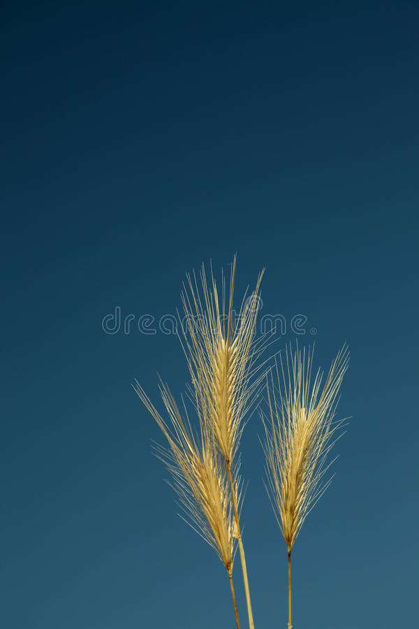 Download Gold Wheat stock photo. Image of nobody, gold, flour - 14855742
