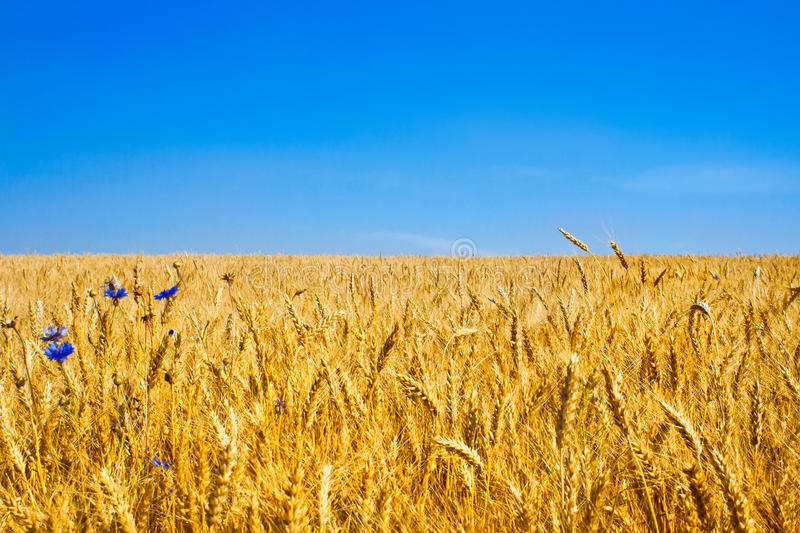 Gold Wheat Field or Ukraine flag stock photography