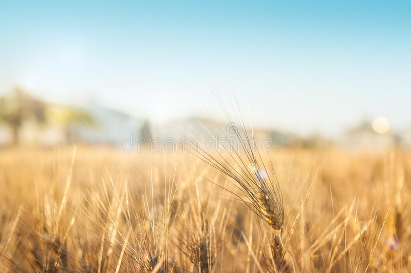 Golden wheat field. Gold wheat field and houses royalty free stock image