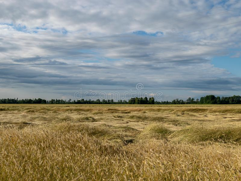Gold Wheat flied panorama.  royalty free stock images