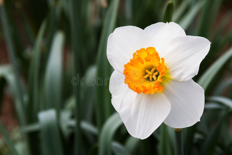 Download Gold and White Daffodil stock image. Image of bulb, nature - 24525695