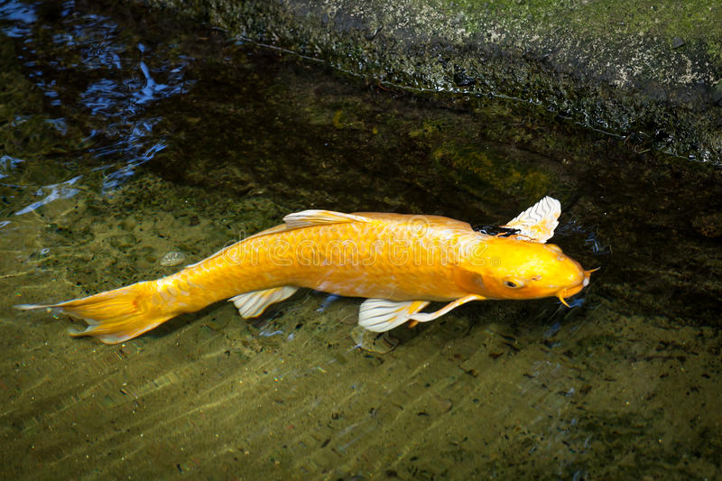 Gold and white ogon koi swimming at edge of pond stock for Pool koi aquatics ltd