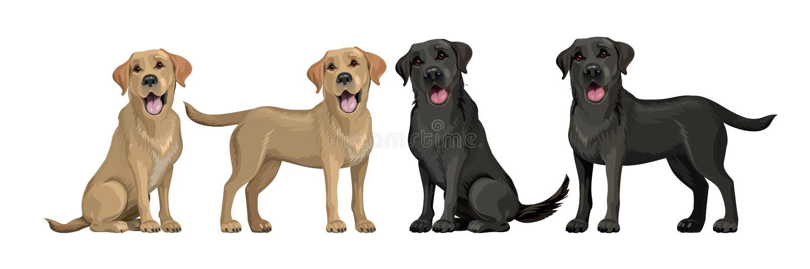 Gold yellow labrador retriever and black labrador retriever. Standing and sitting labradors isolated on white. Young and stock illustration