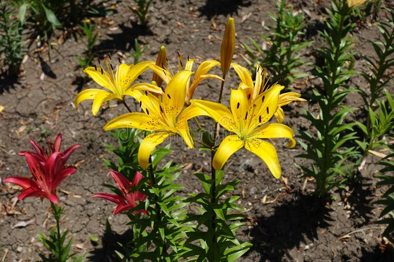 Gold yellow and red lilies in the garden. Golden yellow and red lilies in the garden stock images