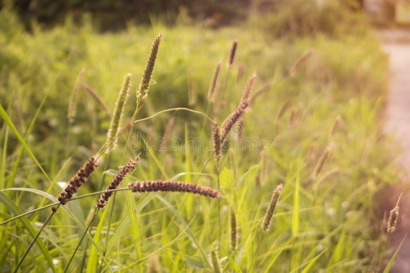 Goldbart-Rasenfläche mit Sonnenlicht stockbild
