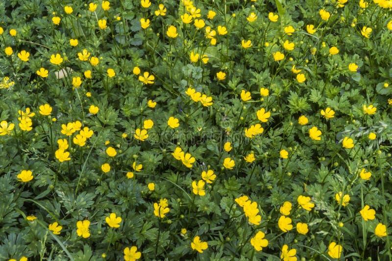 Goldbutterblume, kriechende Butterblume lizenzfreie stockfotos