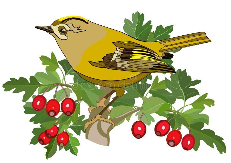 Goldcrest鸟和山楂树 库存例证