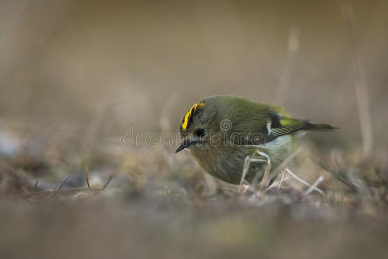 Goldcrest feeding in short grass. As the sun sets there is still a flock of goldvrests feeding in the short grass at the southern cape of Öland royalty free stock photography