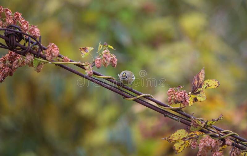 Goldcrest på tråd med blommor royaltyfria bilder