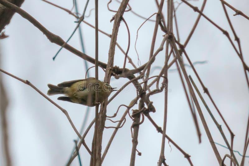 Goldcrest Regulus κλάδων regulus στο μικρότερο ευρωπαϊκό πουλί, χαριτωμένο λίγο πουλί στοκ φωτογραφία