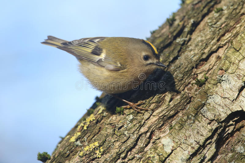 A Goldcrest Regulus regulus hunting for insects to eat in an old tree. royalty free stock photos