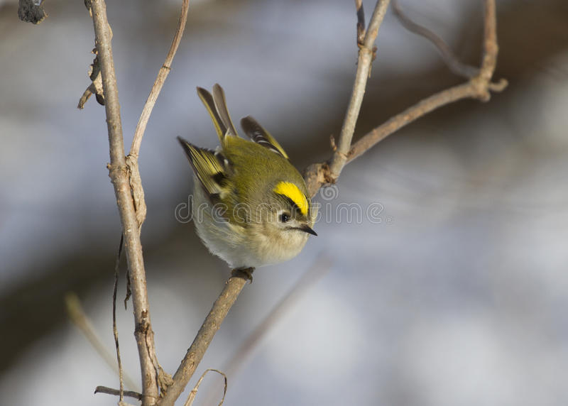 Goldcrest sitting on the branch of a tree in winter. royalty free stock photography