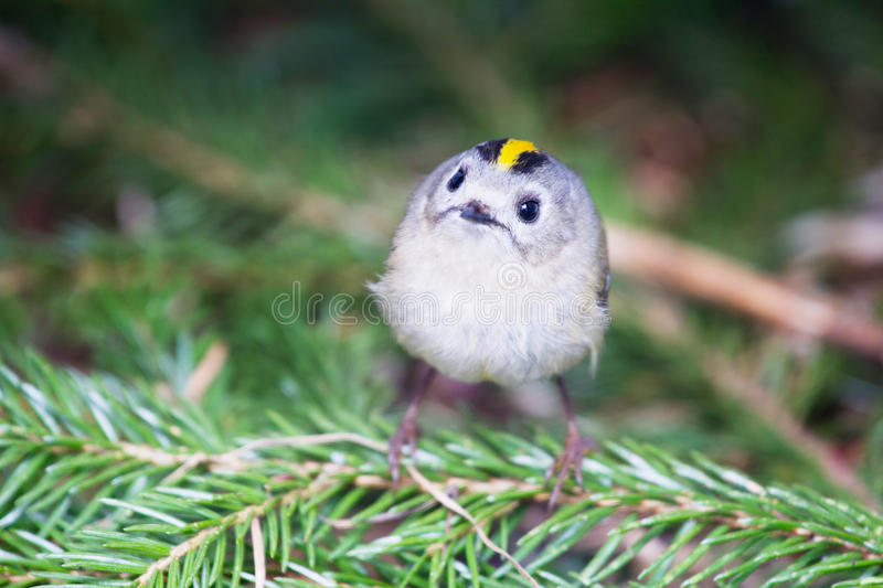 Download Goldcrest stock image. Image of coniferous, birdwatching - 31434455