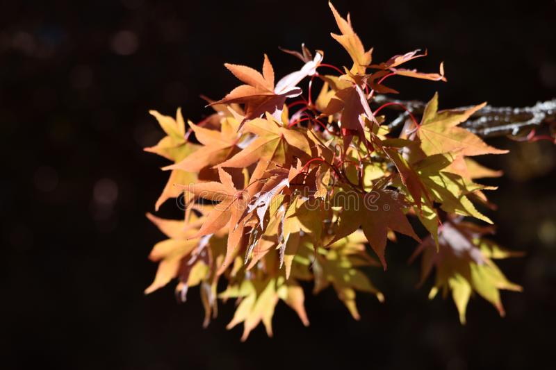 Golden Acer tree leaves in Autumn / Fall stock images