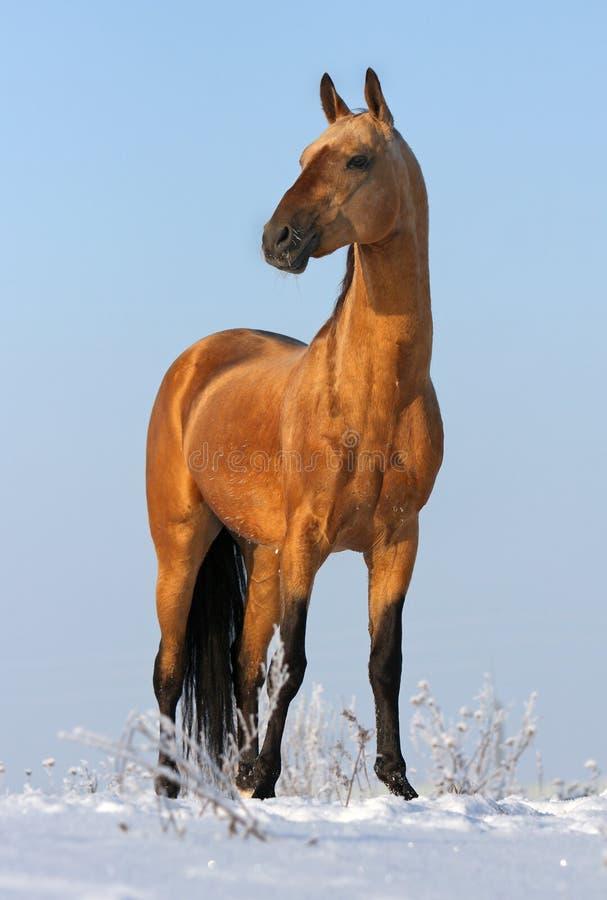 Golden akhalteke stallion stock photo