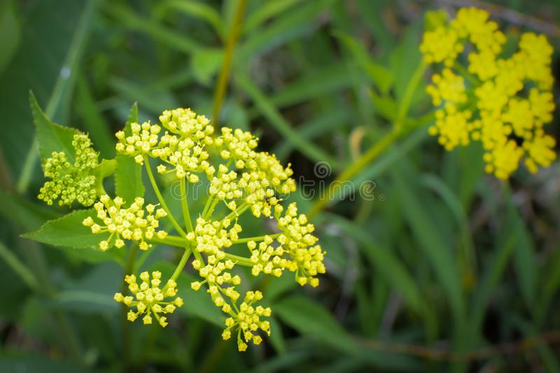 Golden Alexander - Yellow Wildflowers stock image