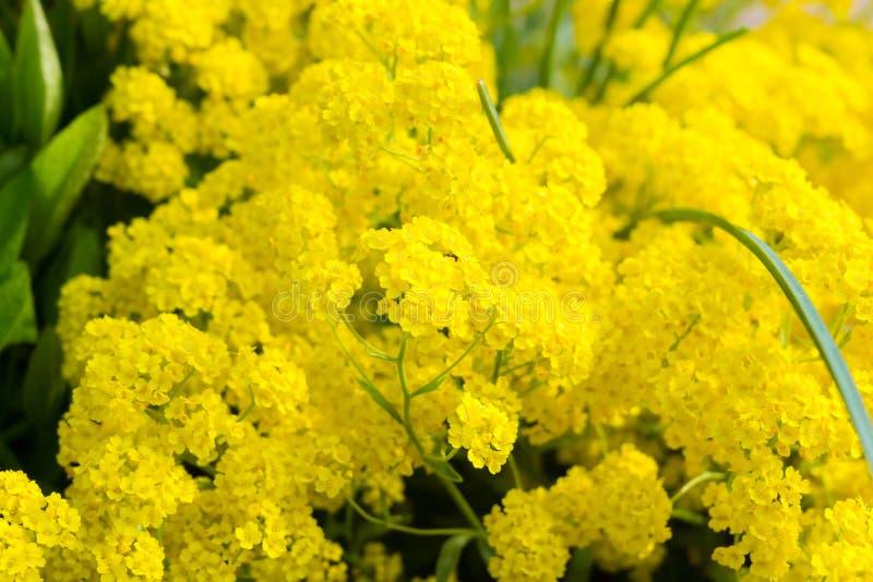 Golden alyssum. Yellow flowers of golden alyssum stock photography