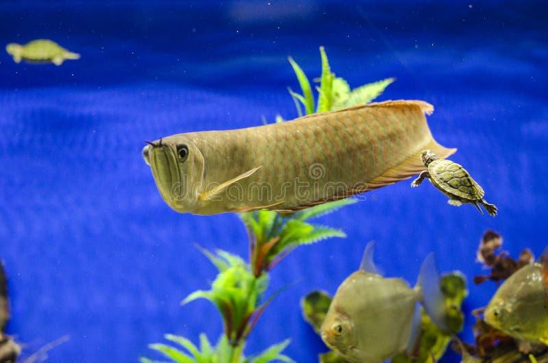 Golden Arowana Fish view in close up in an aquarium stock photos