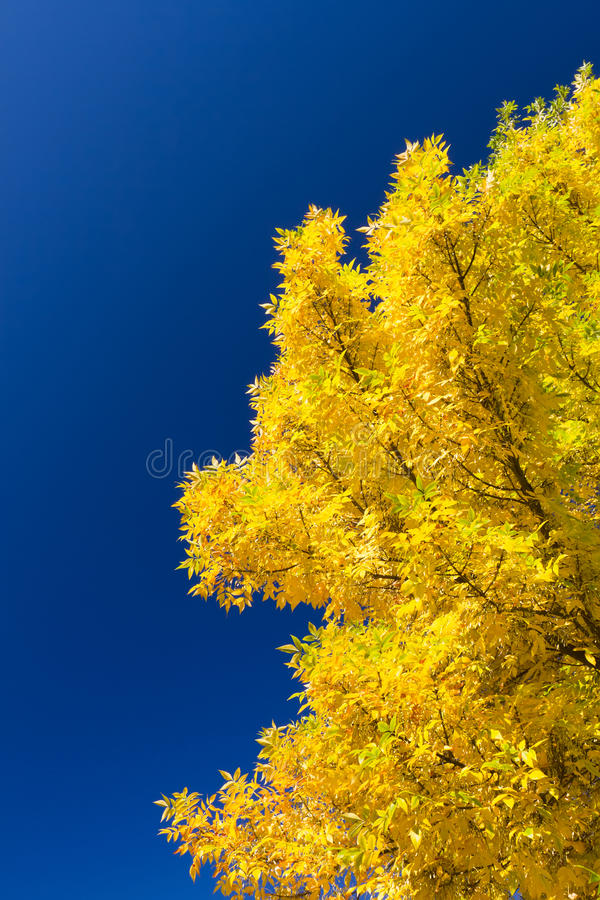 Golden ash. Stunning Golden Ash tree against blue sky background royalty free stock photos