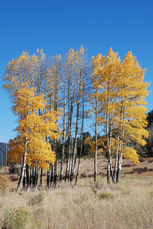 Download Golden Aspen Trees stock image. Image of woods, colors - 22904539
