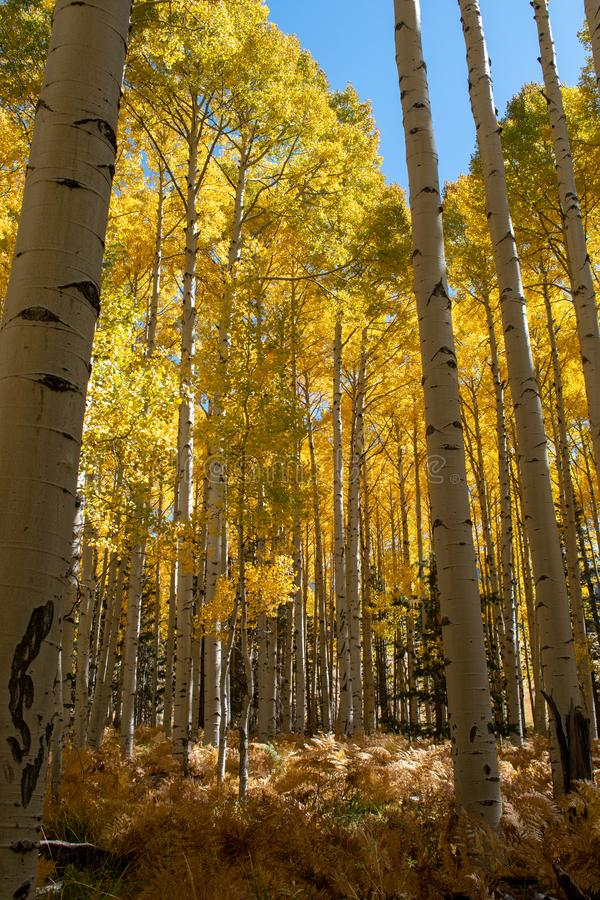 Golden aspen trees in the fall stock photography