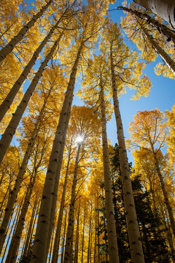 Golden aspen trees in the fall stock photo