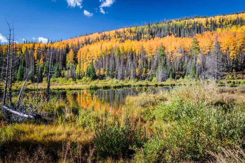 Aspens Along the Bachelor Loop, Creede Colorado stock images