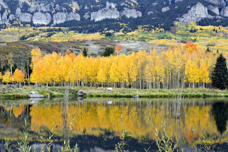 Golden Aspens and reflections royalty free stock image
