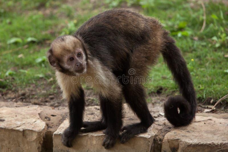 Golden-aufgeblähte Capuchin Sapajus-xanthosternos stockfotos