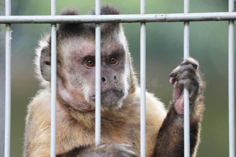 Golden-aufgeblähter Capuchin stockfoto