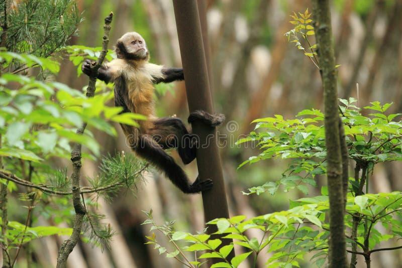 Golden-aufgeblähter Capuchin stockbild