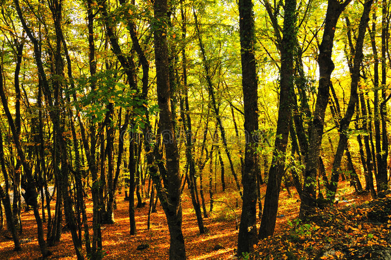 Golden autumn. Bright golden autumn in the forest royalty free stock photos