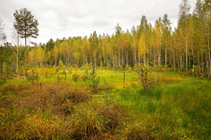 Golden autumn in the forest swamp stock image