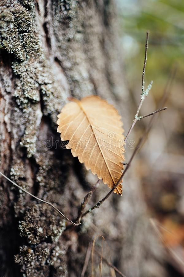 Golden autumn leaf on tree bark royalty free stock image