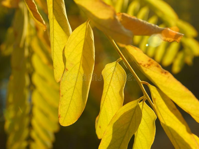 Golden autumn leaves of acacia and a sunbeam royalty free stock images