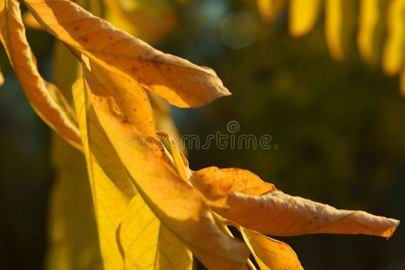 Golden autumn leaves of acacia under the sun royalty free stock images