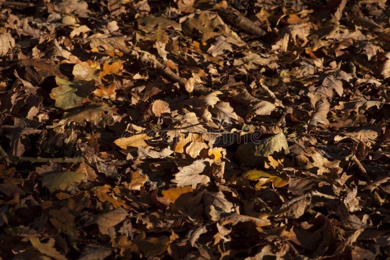 Autumn leaves royalty free stock photos