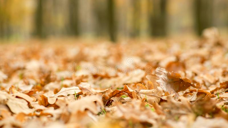 Golden autumn leaves on the ground. Beautiful autumn landscape with yellow trees. Colorful foliage in the park. Falling leaves nat. Ural background royalty free stock image