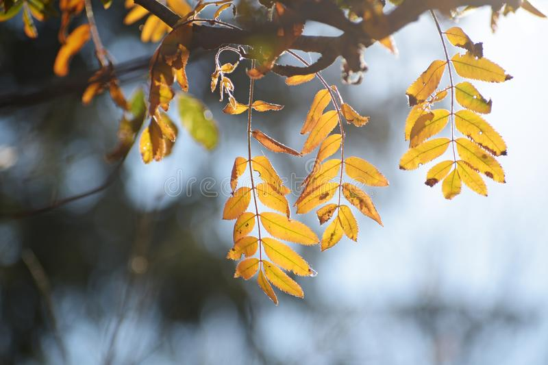 Golden autumn leaves of a mountain ash in backlit, blue background with copy space. Selected focus, narrow depth of field royalty free stock images