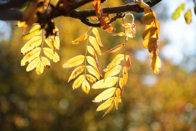 Golden autumn leaves of the mountain ash, blurred background wit. H copy space, selected focus, narrow depth of field royalty free stock images