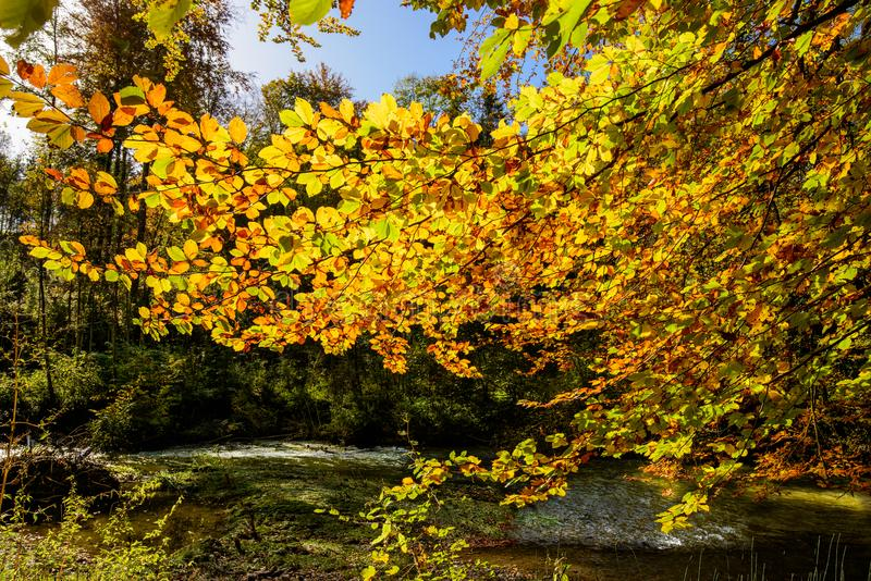 Golden autumn light through the colored leaves in the forest. Forest near Bussigny, Switzerland royalty free stock photos