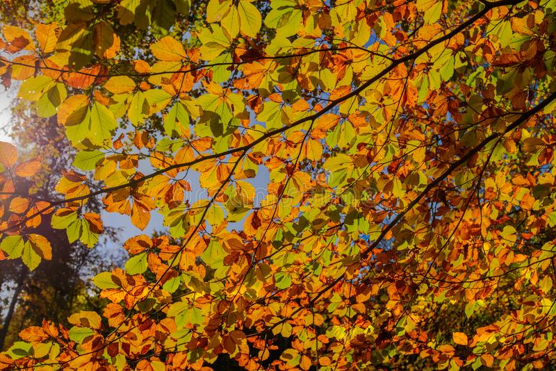 Golden autumn light through the colored leaves in the forest. Forest near Bussigny, Switzerland royalty free stock images