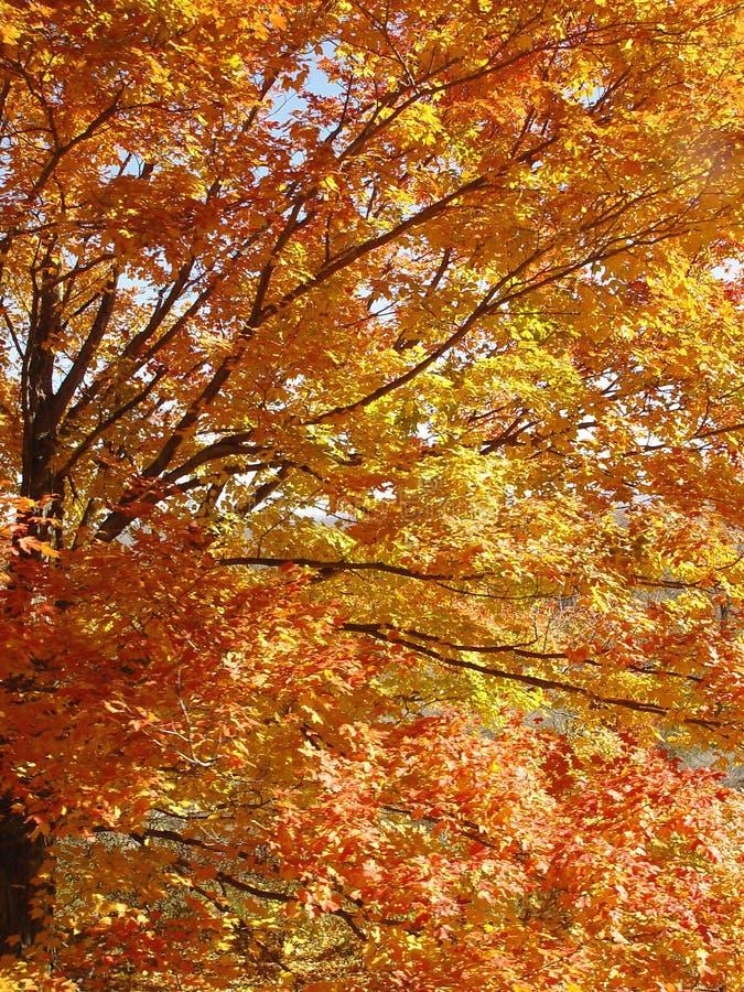 Golden Autumn Tree stock images