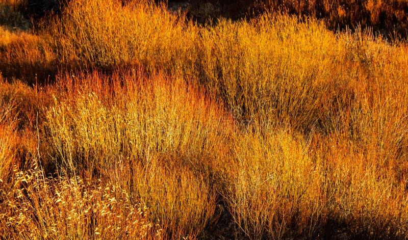 Golden, Autumn Willows im späten Sonnenlicht stockbilder