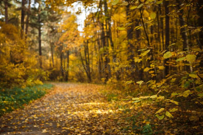 Golden autumn, yellow trees in sunlight, leaves underfoot. Walk through the fabulous autumn forest, Cycling through the yellow forest and the Golden alley stock image