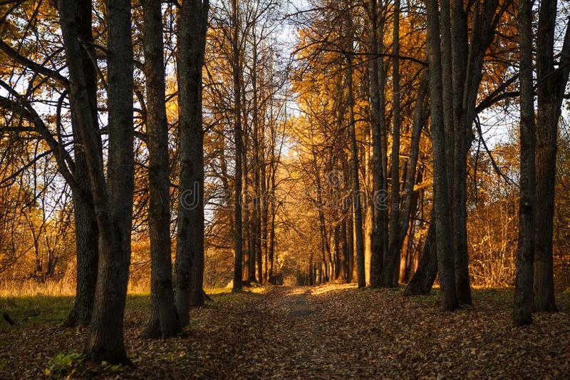 Golden autumn, yellow trees in sunlight, leaves underfoot. Walk through the fabulous autumn forest, Cycling through the yellow forest and the Golden alley stock photos